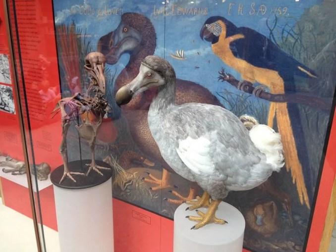 Dodó madár maradvány Oxford
