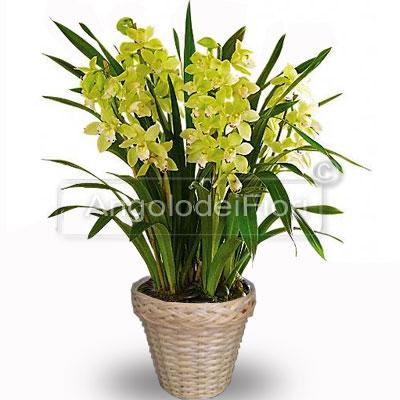 Spedizione Pianta Orchidea Cymbidium