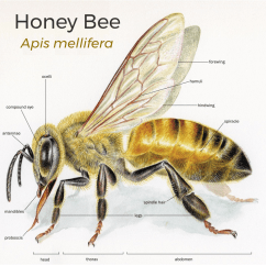 Diagram Of A Queen Bee Interactive Ear Anatomy Worksheet Keeping Resources Angry