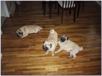 Hardwood Floors For Dogs - Flooring : Home Design Ideas # ...