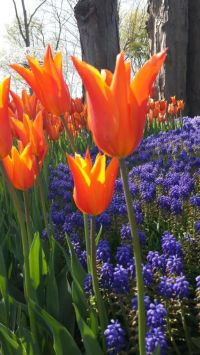 The tulip is one of the symbols of Istanbul.