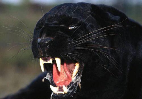 Black Animal Wallpaper Panther Bild Animaatjes Panter 99164
