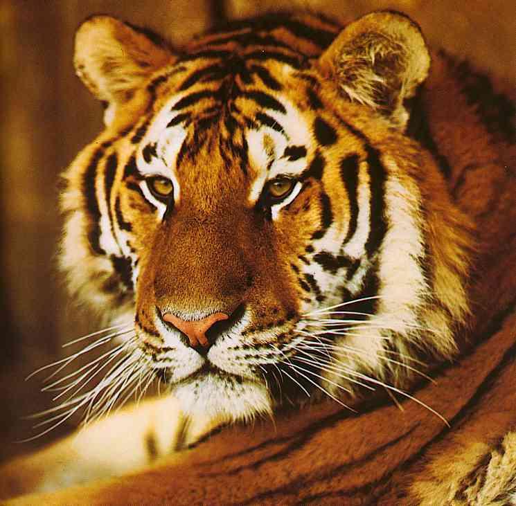 Tiger Bild - Animaatjes tijgers 76326