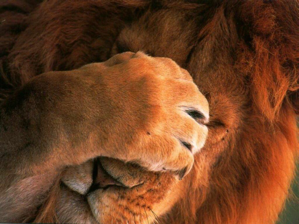 Afbeeldingsresultaat voor huilende leeuw