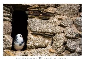 Un pigeon échappé de la volière