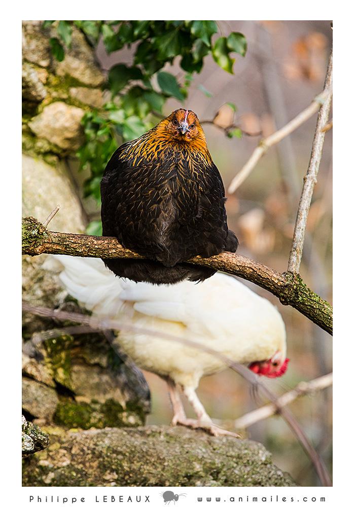 Poule ou coq !