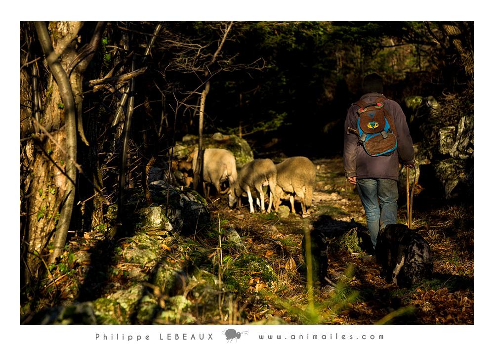 Patrick et les brebis sur la Draille des hautes terres