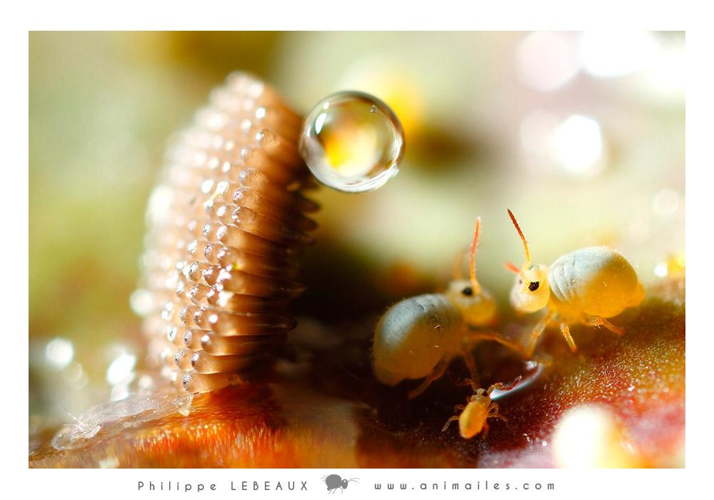 collembola Sminthurides aquaticus