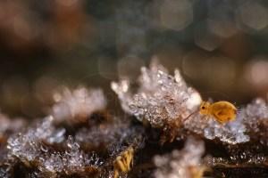 Collembole Dicyrtomina ornata photographié avec des cristaux de glace