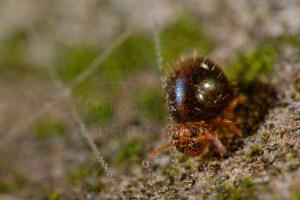 Collembole Allacma fusca sp. photographié avec toile d'araignée perlée de gouttes d'eau