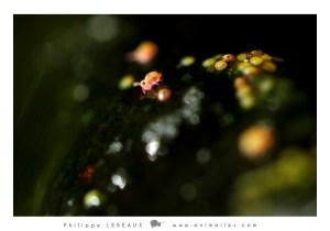 Juvénile et embryons de collembole Sminthurides aquaticus