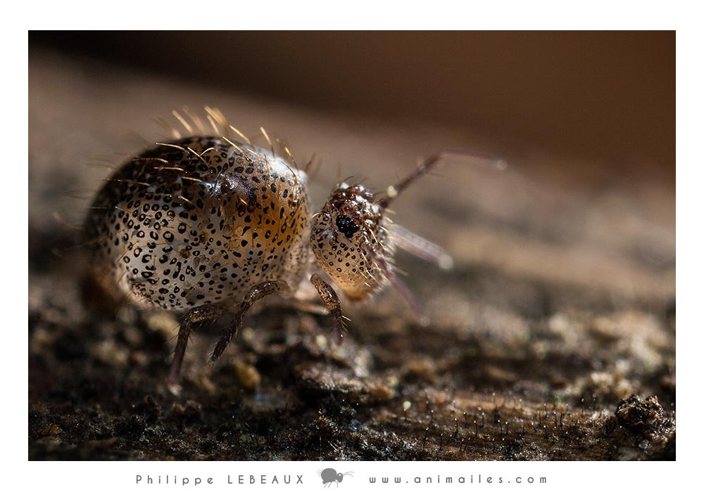 Allacma fusca var. pustulata (femelle)