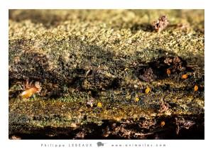 Prédation d'un pseudoscorpion sur collembole Isotoma riparia
