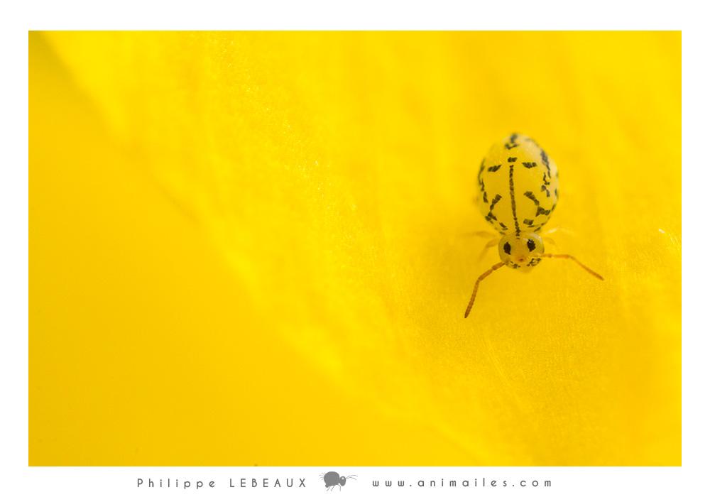 Photos de collembole Fasciosminthurus dictyostigmatus
