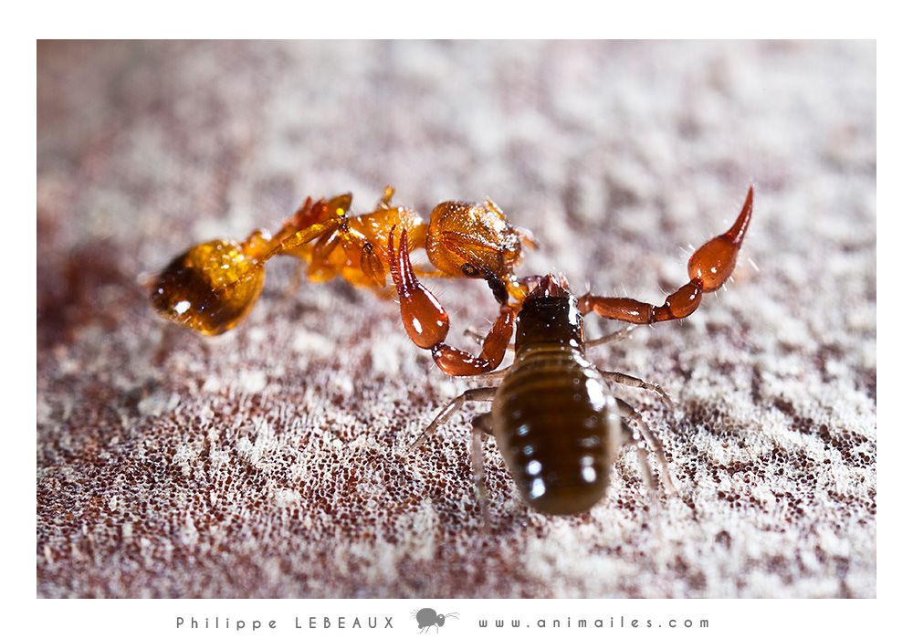 Pseudoscorpion ayant capturé une fourmi genre Myrmica