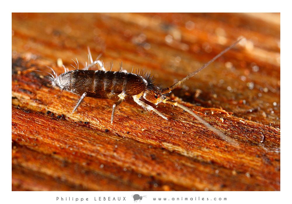 Pogonognathellus flavescens