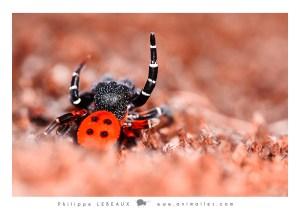 Arachnides : Eresus Kollari