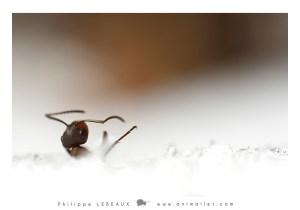 Fourmi rousse prise dans la neige