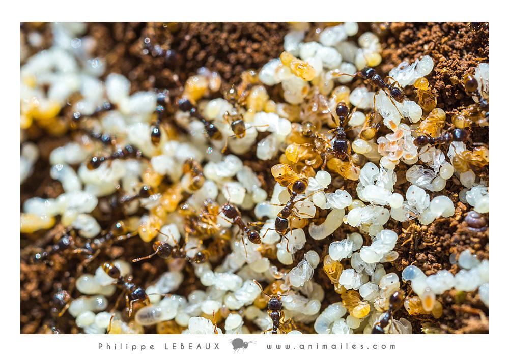 Couvin avec larves dans  fourmilière