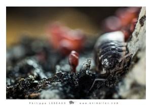 Cloporte : Oniscus asellus