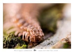 Myriapodes : Diplopode sp.