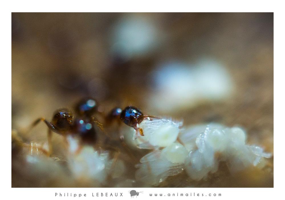Transport de larves genre Myrmica sp.