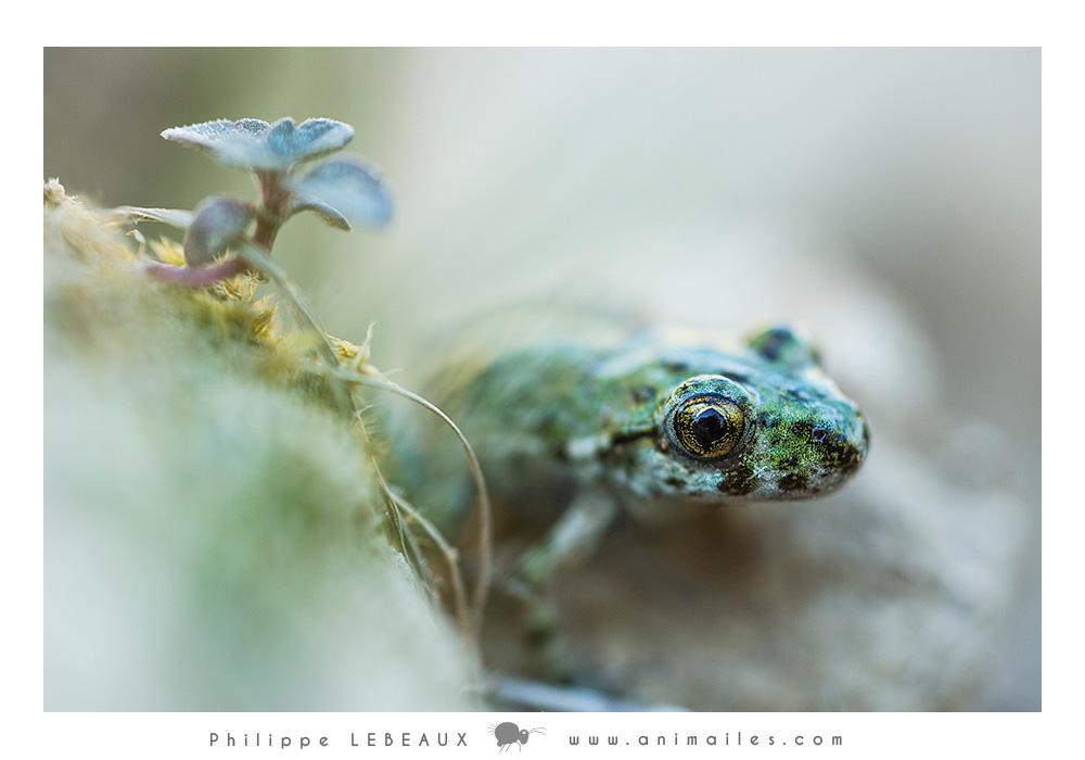 Pélodyte ponctué (Pelodytes punctatus)