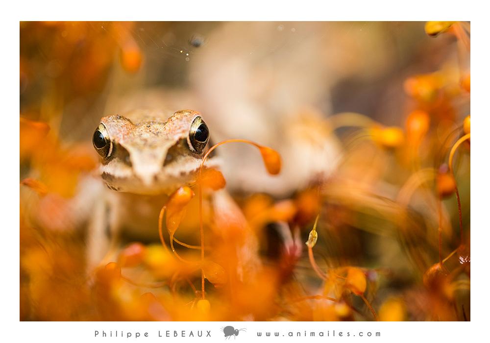 Grenouille agile (Rana dalmatina)