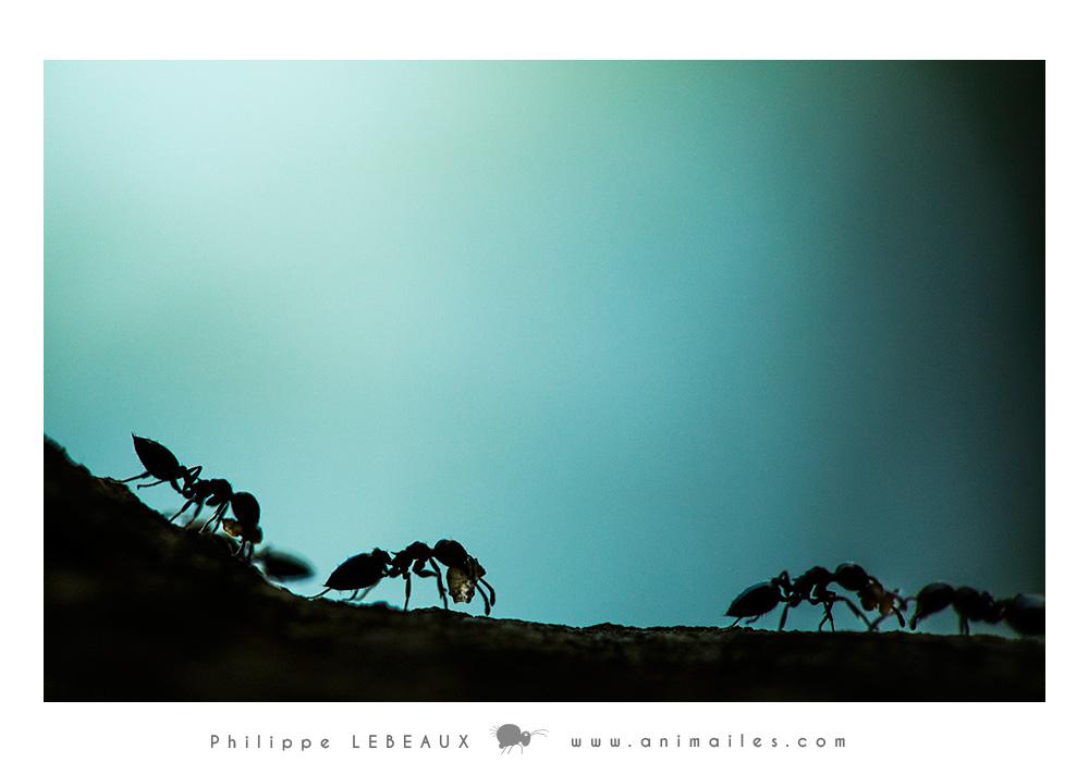 Crematogaster scutellaris en ombres chinoises