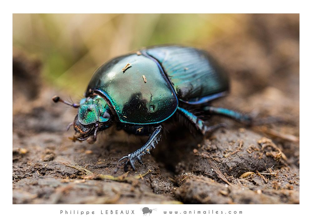 Coléoptères : Geotrupes sp.