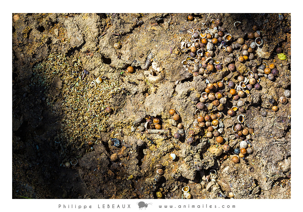 Grenier à graines genre Messor sp.