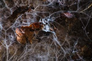 Mycéliums et débris de feuilles mortes photographiés sur la litière du sol