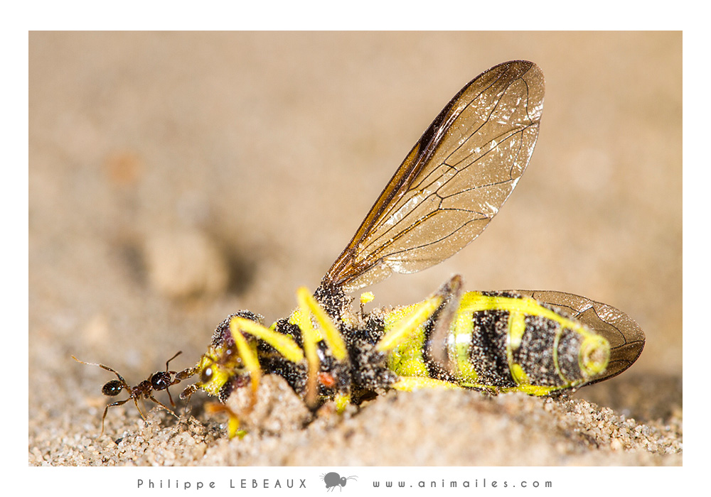 Myrmica sp. tirant un syrphe mort