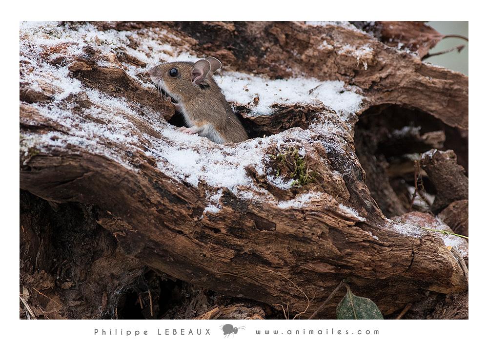Mulot sur souche d'arbre