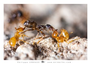 Combat entre Lasius flavus (jaune) et Lasius niger