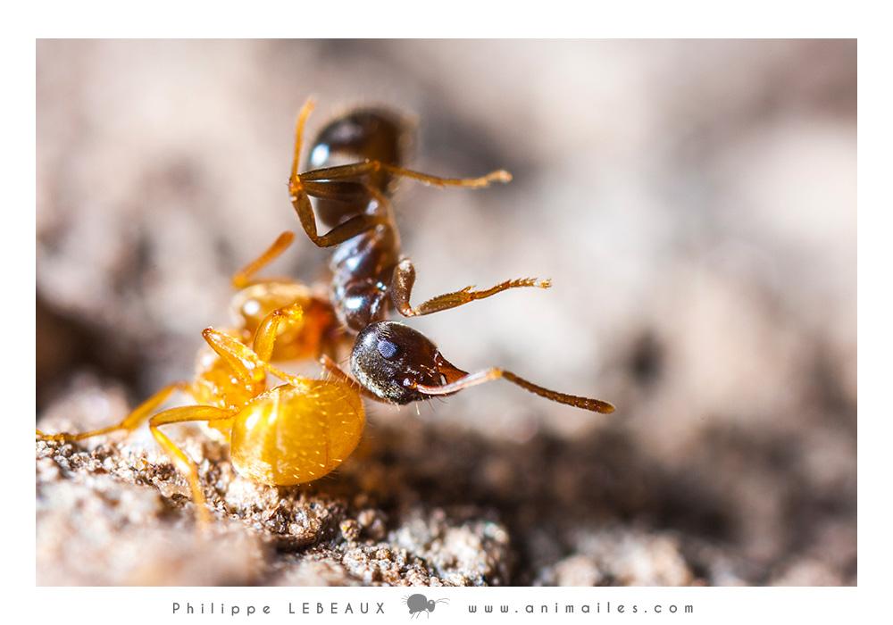 Combat entre Lasius flavus et Lasius niger