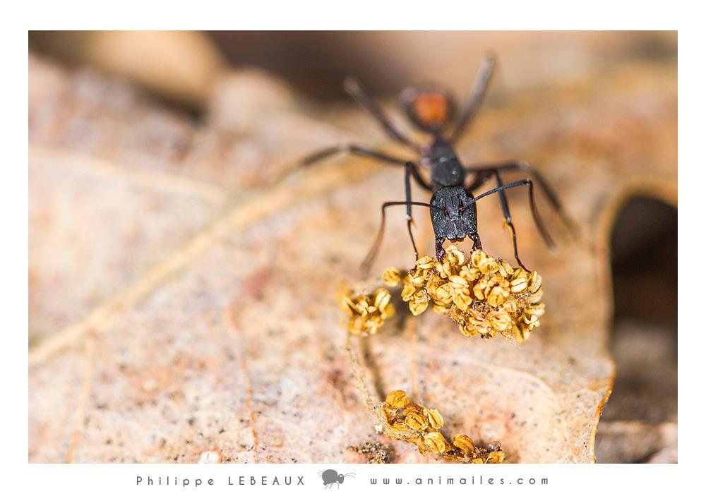 Camponotus cruentatus transportant des graines
