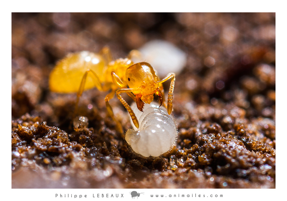 Lasius flavus et larve