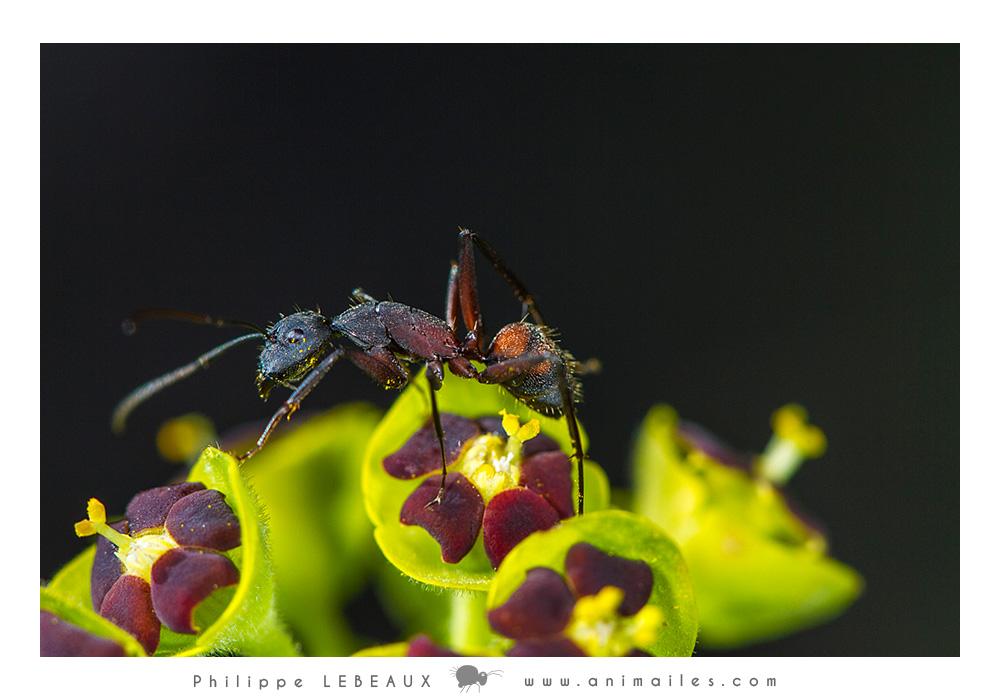 Camponotus cruentatus sur euphorbe