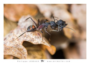 Camponotus cruentatus transportant une fourmi morte