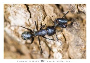 Après le combat Camponotus vagus
