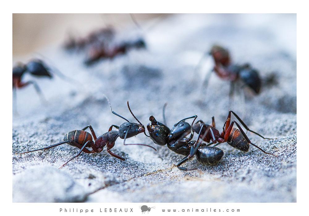Combat entre Camponotus vagus et Camponotus cruentatus