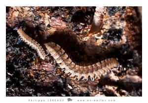 Myriapodes : Diplopodes sp. juv et adute