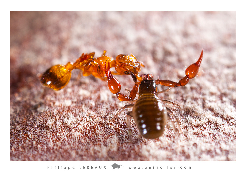 Pseudoscorpion capturant une Mymica sp.