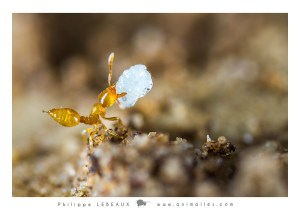 Solenopsis sp. transportant une larve