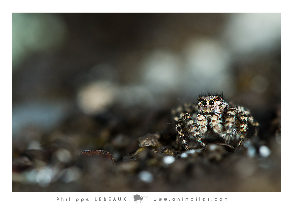 Arachnides : Saltique sp.