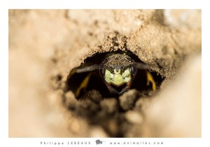 Hyménoptères : Abeille solitaire