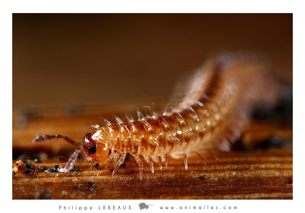 Myriapodes : Détail d'un Polydesme sp.