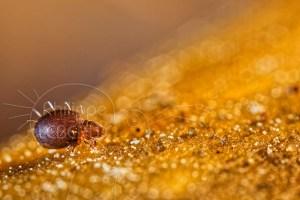 Acarien oribate sp. sur la litière du sol