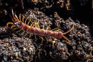 La lithobie à pinces se déplace vite sur la litière du sol